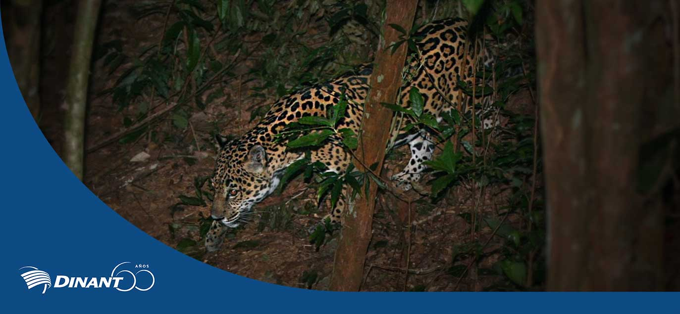 Jaguars Are Thriving In Dinant's Nature Reserve