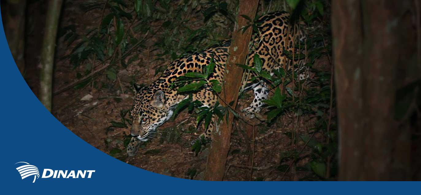 Jaguares se Desarrollan en la Reserva Natural de Dinant